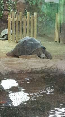 At the zoo. Gigant turtle